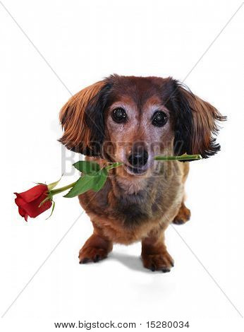 Valentine dachshund. One in a series of holiday pictures featuring this pup.