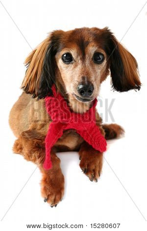 Dachshund wearing a red knitted scarf. Part of a creative series featuring the same pup.