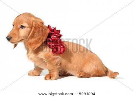 Dachshund puppy with a red bow.