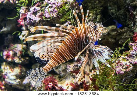 exotic fish lionfish on the sea bed or the aquarium. Focus on the eyes