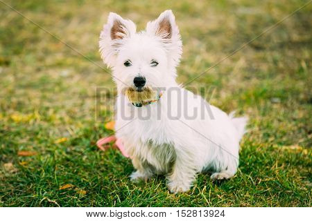 West Highland White Terrier - Westie, Westy Dog Portrait