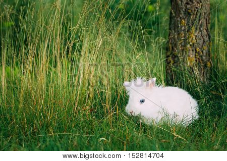 Close View Of Cute Dwarf Decorative Miniature Snow-White Fluffy Rabbit Bunny Mixed Breeds With Blue Eye Sitting In Bright Green Grass In Garden. poster