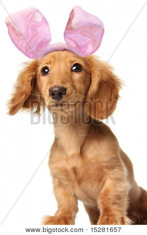 Easter bunny dachshund with a goofy expression.