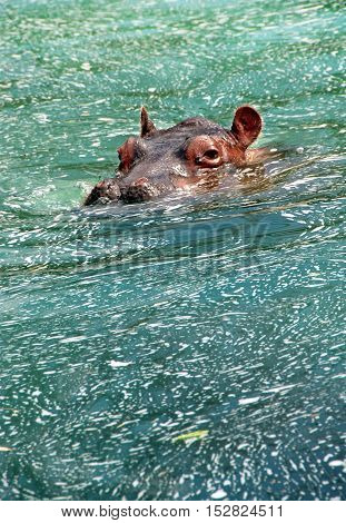 Hippopotamus swimming in blue green water with just its head showing