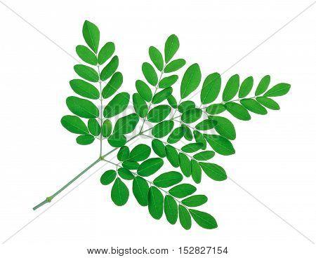 green moringa leaves isolate on white background