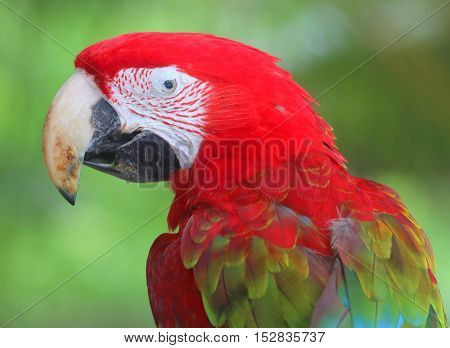 profile head and shoulders of Scarlet Macaw, seen from behind