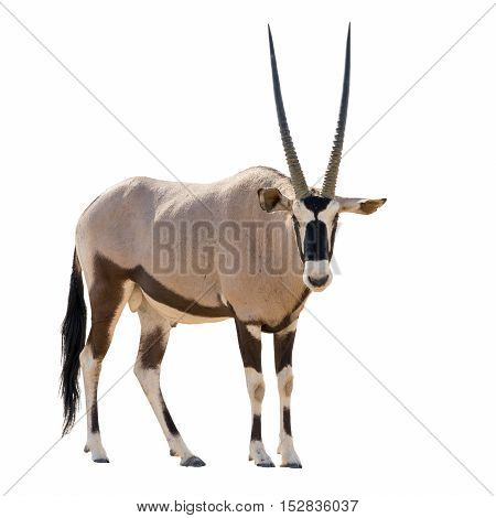 Oryx Gazella (gemsbok) Looking Into Cam Isolated