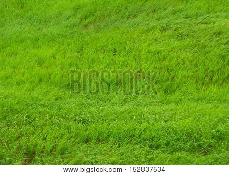 Bright green grasses blowing in the field, the mountainside of Thailand