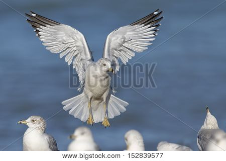 Ring-billed Gull Landing On A Lake Huron Beach