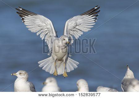 Ring-billed Gull Landing On A Lake Huron Beach