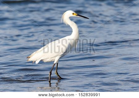 Beautiful, majestic white snowy egret hunting for food in the shallow ocean water