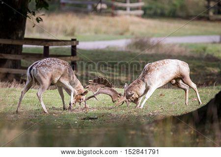 Fallow Deer Bucks Fighting