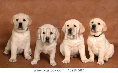 Yellow labrador retriever pup on a brown background.
