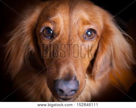 Close-up of sad face of golden miniature long-haired dachshund looking up towards the camera