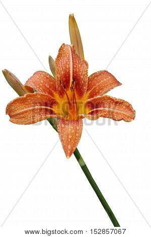 Single orange daylily flower with raindrops close up isolated on a white background