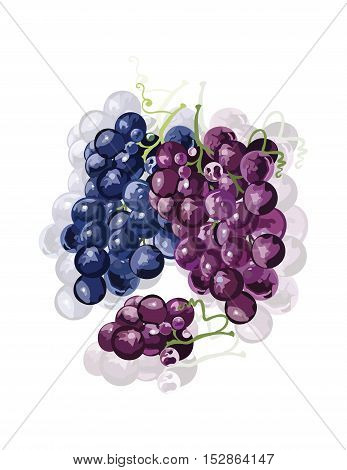 Red Grapes isolated Vector. Wine theme for book or cards cover. Wine texture illustration watercolor style
