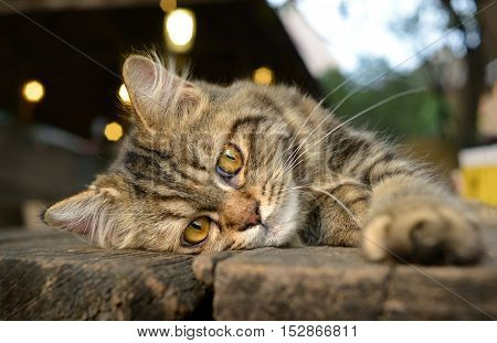 Baby Maine Coon Cat Feeling