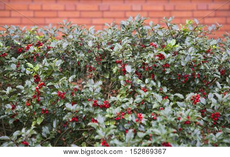 background of Ilex aquifolium. brick wall and holly branches with fruits