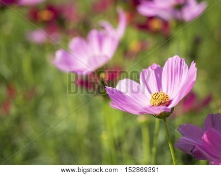 Pink and red, Cosmos flowers (Cosmos Bipinnatus) with blurred background. soft focus.