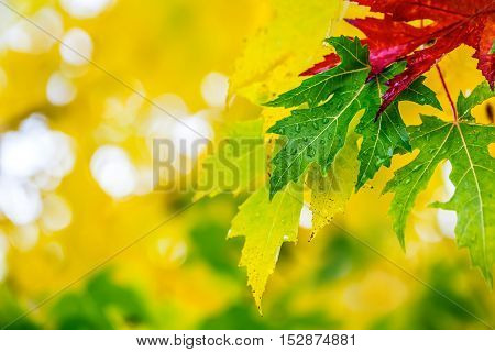 Autumn leaves in autumn colors and lights. Rainy autumn weather. Fallen autumn leaves in water and rainy weather. Autumn colors. Fall.