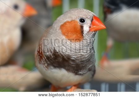 Zebra-finch Bird In Cage