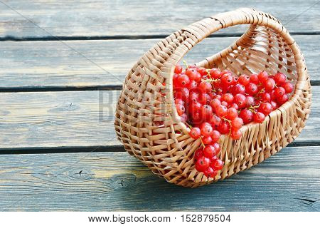 close up from redcurrant in basket on wooden background.