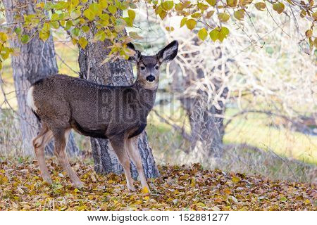 Baby Canadian Mule Deer In The Woods