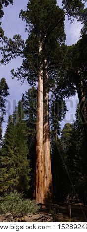 Sequoia Tree in Sequoia National Park with Sun light