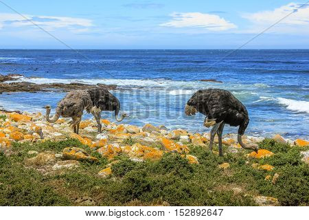 Three common ostriches eat on the pebble beach of Cape of Good Hope Nature Reserve in Cape Peninsula National Park, South Africa. The Cape of Good Hope section of Table Mountain National Park