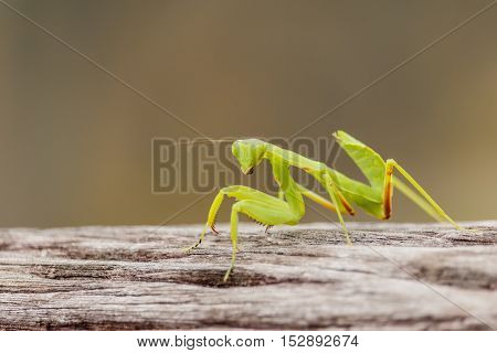 Female European Mantis or Praying Mantis Mantis religiosa on old wood