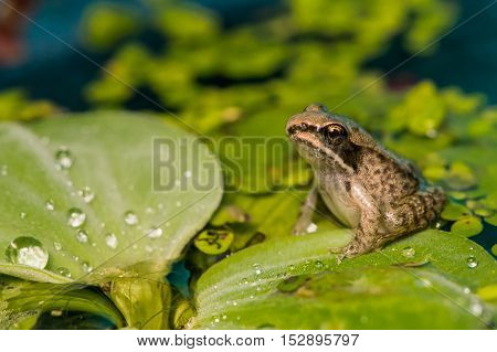 A wood frog metamorph sitting on a floating plant in a pond.