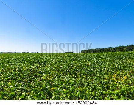 Soybean field on summer day. Agricultural landscape