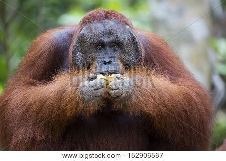 Male orang-utan eating a banana in his native habitat. Rainforest of Borneo.