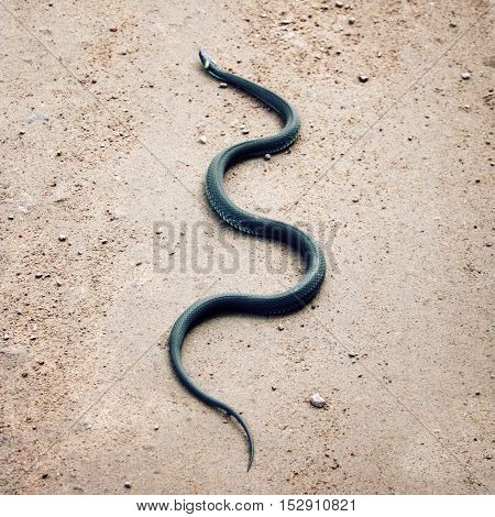 Grass snake crawling on the ground. Non-venomous reptile with yellow collar behind the head. Ringed snake on the country road in a warm sunny day. Island of Valaam Republic of Karelia Russia.