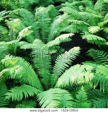 Fern Thickets In The Forests Of Valaam Island.