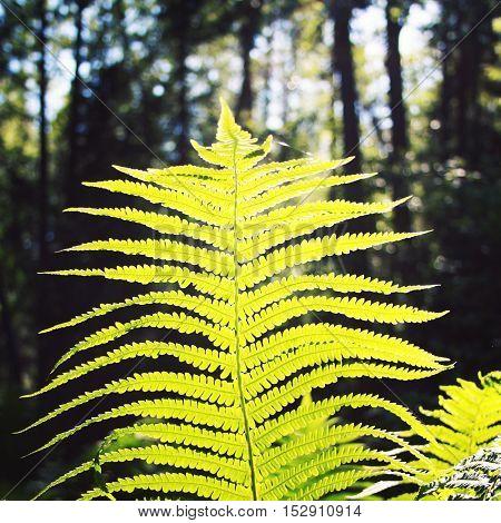 Sun Shining Through Fern Leaf. Valaam Forest. Aged