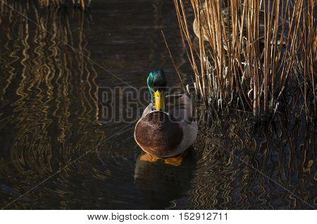 Close up of a relaxing mallard duck in reed beds. Mallard Duck