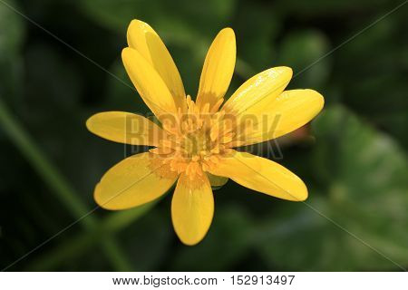 Close up of a yellow lesser celandine flower