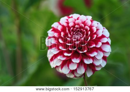 Macro of a red white dahlia - cultivar Jim Dandy
