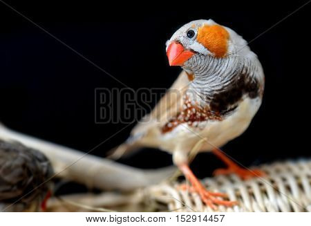 Colorful Of Zebra-finch Bird