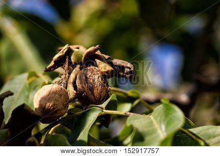 Closeup shot of a ripe walnut on tree - nature background.