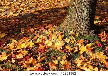 plenty of fallen bright yellow maple leaves covering the lawn under the tree