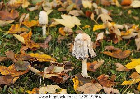 shaggy ink cap among the colorful fallen leaves in autumn