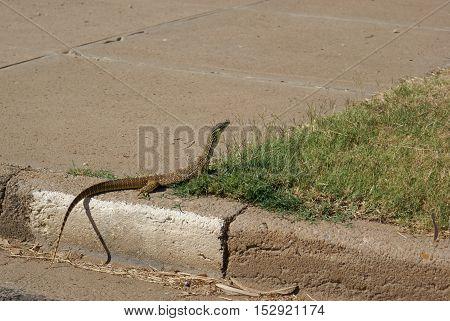 Goanna in outback Australian town on sidewalk