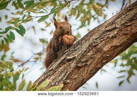 Squirrel Sitting on a Tree and Eats a Walnut