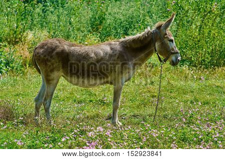 Image of Brown Donkey on the Green Pasture