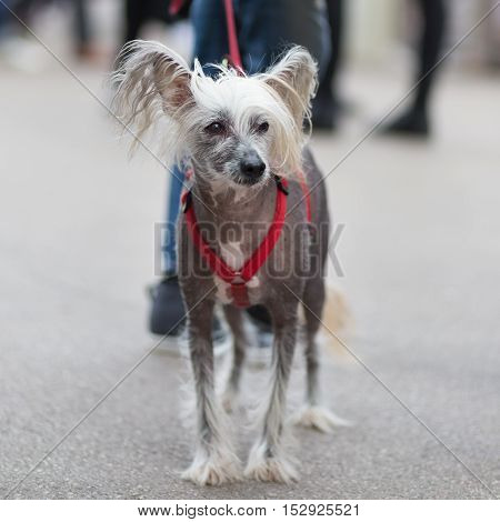 Chinese Crested Dog, Canis lupus familiaris, on leash wearing red collar on a city walk.
