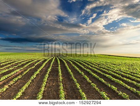 Rows of young green soybeans against the blue sky with beautiful clouds. Soy bean fields in early summer season.