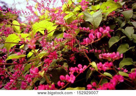 Polygonaceae in pink with bees flying around. poster