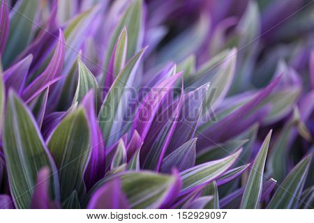 Tradescantia spathacea colorful green and purple foliage natural background